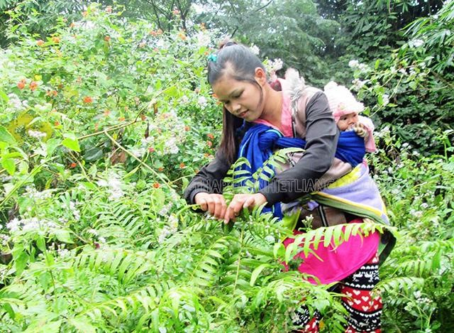 rau dớn được thu hoạch vào mùa mưa