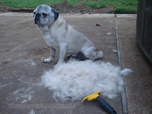 Cạo lông máu cho chó Pug.