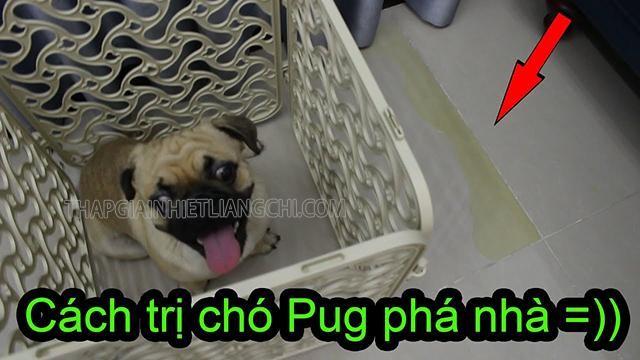 Nên nuôi chó Pug đực hay cái.