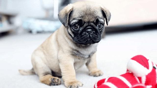 Chó Pug 2 tháng tuổi